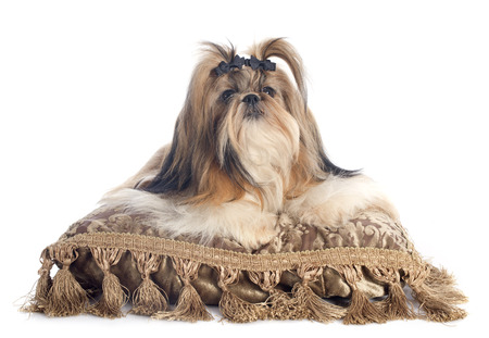 purebred Shih Tzu on cushion in front of white background photo