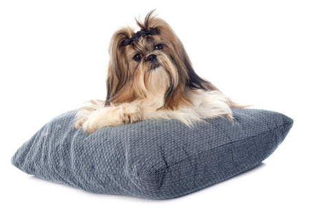 purebred Shih Tzu on cushion in front of white background Stock Photo - 26183860