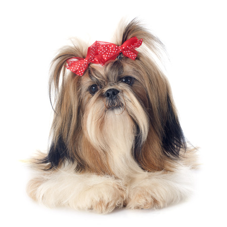 pet grooming: purebred Shih Tzu in front of white background Stock Photo