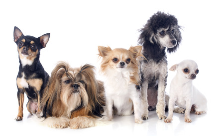 show dog: five little dogs in front of white background Stock Photo
