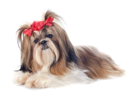 purebred Shih Tzu in front of white background photo