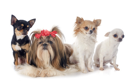 show dog: purebred Shih Tzu and chihuahuas in front of white background Stock Photo