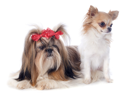 purebred Shih Tzu and chihuahua in front of white background Stock Photo - 26347808