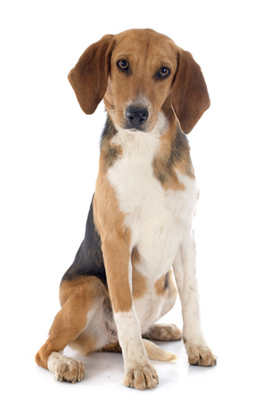 beagle: young Beagle Harrier in front of white background Stock Photo