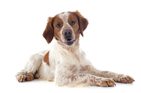 portrait of a brittany spaniel in front of white background Stock Photo