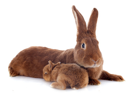 young rabbit and adult fauve de Bourgogne in front of white background photo