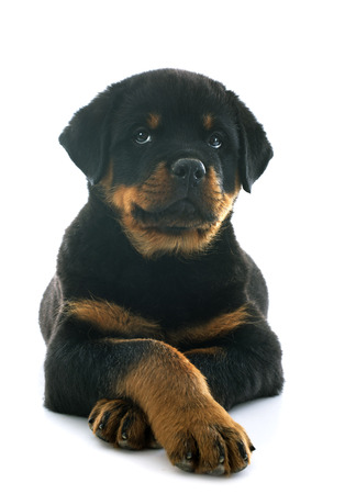 purebred: portrait of a purebred puppy rottweiler in front of white background Stock Photo