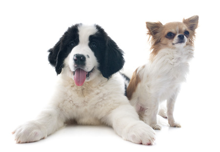 black and white newfoundland dog: purebred puppy landseer and chihuahua in front of white background Stock Photo