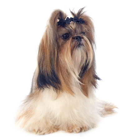 purebred Shih Tzu in front of white background Stock Photo - 26597641