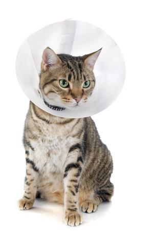 plastico pet: retrato de un gato de raza pura bengala sobre un fondo blanco