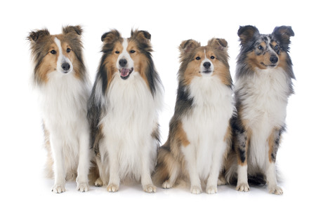 shetland dogs in front of white background Stok Fotoğraf