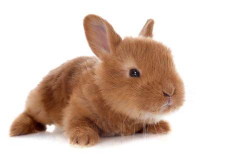 young rabbit fauve de Bourgogne in front of white background photo