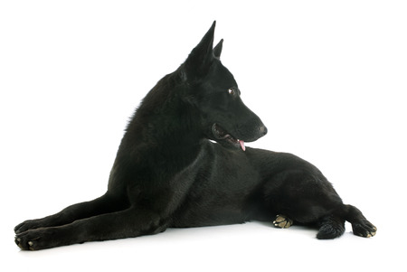 black german shepherd in front of white  photo