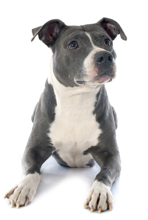 bull terrier: portrait of an  american staffordshire  terrier in front of white  Stock Photo