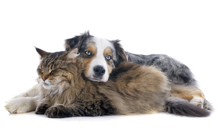 australian shepherd and maine coon cat in front of white background