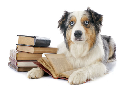 purebred: purebred australian shepherd  and books in front of white background