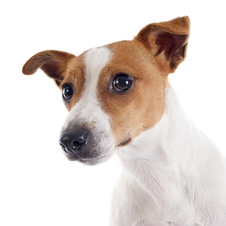 Portret van een rasechte Jack Russell Terrier in de studio