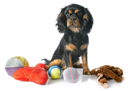 spaniel: puppy cavalier king charles in front of white background