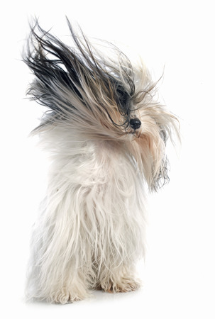 pet grooming: Tibetan terrier in front of white background