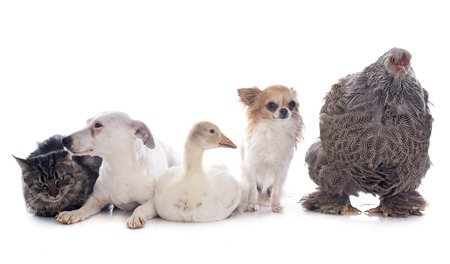 young gosling, jack russel terrier, brahma chicken, cat and chihuahua in front of white background photo