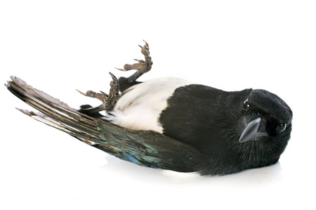 feat: Eurasian Magpie in front of white background