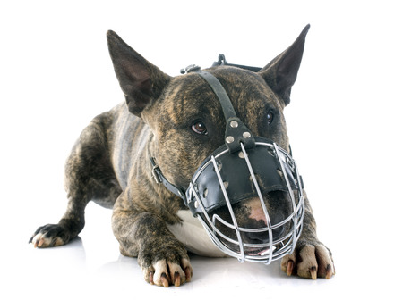bull terrier and muzzle in front of white background Stock Photo