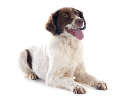 portrait of a french spaniel in front of white background