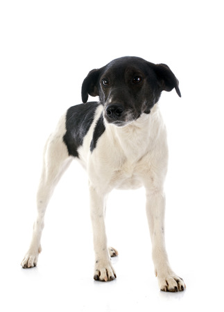 black fox: portrait of a purebred smooth fox terrier in front of white background