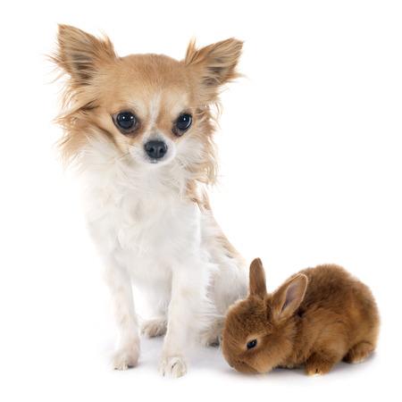 young fauve de Bourgogne rabbit and chihuahua photo