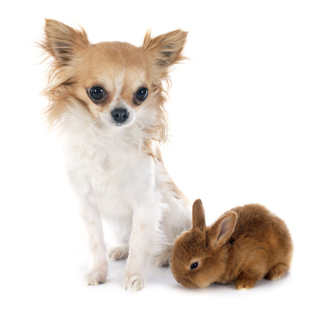 young fauve de Bourgogne rabbit and chihuahua photo