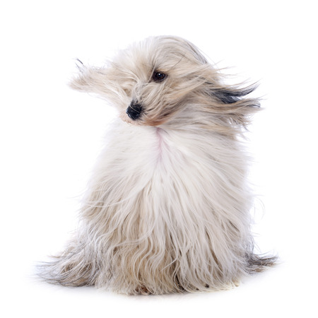 Tibetan terrier in front of white background photo