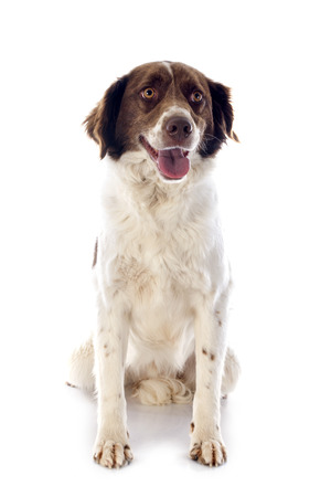 springer: portrait of a french spaniel in front of white background