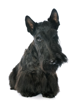 scottish: Scottish Terrier in front of white background Stock Photo
