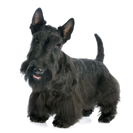 Scottish Terrier in front of white background photo