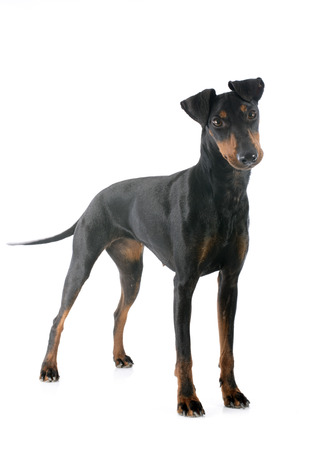 Manchester terrier in front of white background Stock Photo