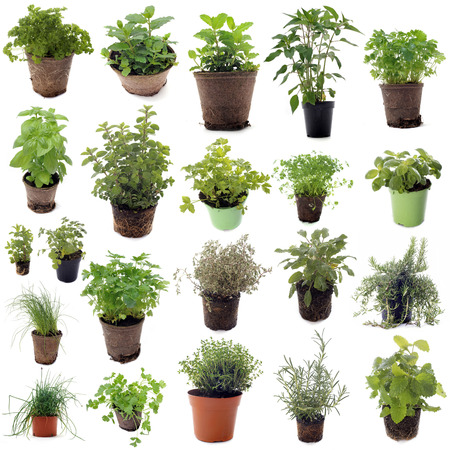 aromatic herbs in front of white background photo