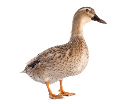 female duck in front of white background photo