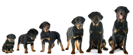 portrait of a purebred puppy rottweiler in front of white background Stock Photo