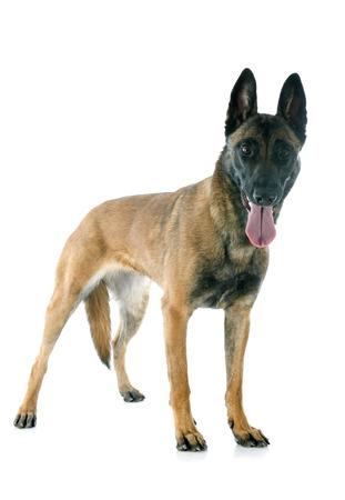 perro policia: de pura raza pastor belga malinois sobre un fondo blanco