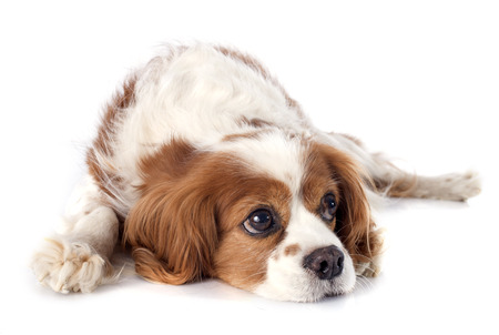 cavalier king charles in front of white background Фото со стока
