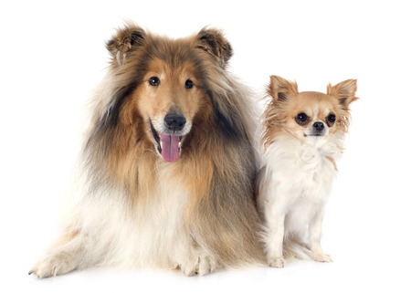 rough collie and chihuahua in front of white background photo