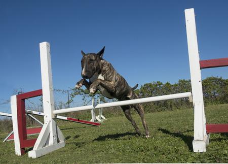 obediencia: entrenamiento de la agilidad en un club canino Foto de archivo