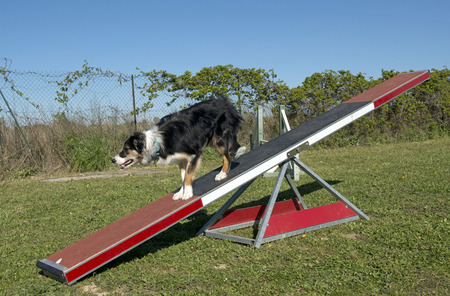 agility dog: training of agility in a canine club