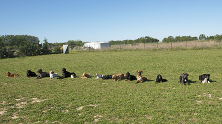 group of dogs in a training of obedience