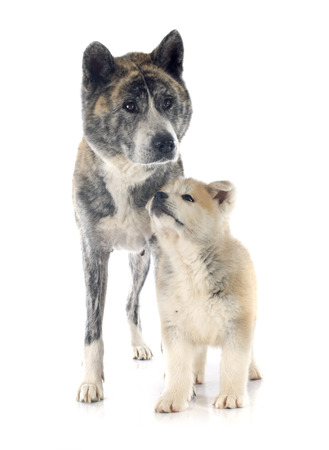brindle: puppy and adult akita inu in front of white background