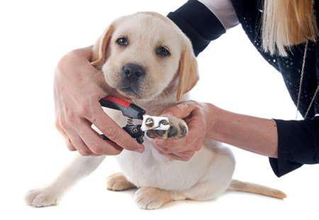 purebred:  purebred puppy labrador retriever in a studio  Stock Photo