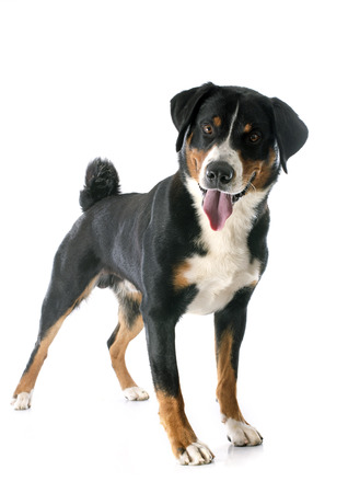 sennenhund: Appenzeller Sennenhund di fronte a sfondo bianco