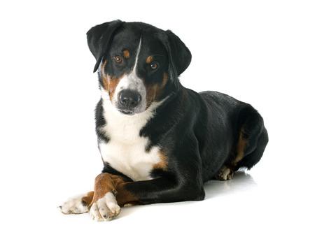appenzeller: Appenzeller Sennenhund in front of white background Stock Photo