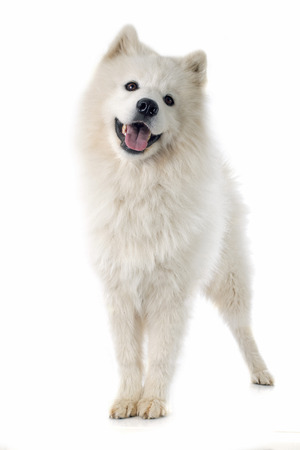 purebred Samoyed in front of white background