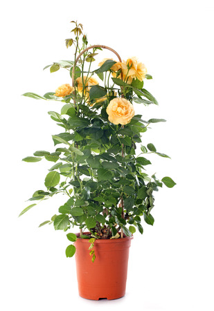 yellow rosebush in front of white background Stock Photo